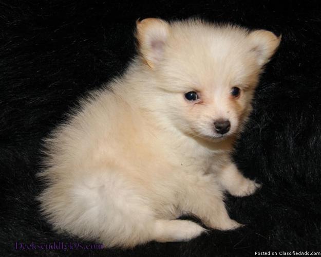 APRI Pomeranian Puppies - Price: 200 for sale in Nacogdoches, Texas ...