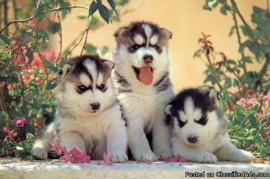 Cute Siberian Husky Puppy Wallpaper Cute Siberian Husky Puppy