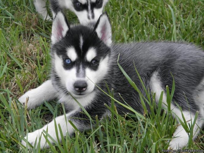 Siberian Husky Puppies For Sale Lancaster Puppies | Auto Design Tech